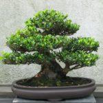 Bonsai, el arte de cultivar arboles controlando su tamaño