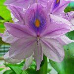 Jacintos de agua, fácil cultivo y hermosas flores lilas