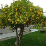 Aprende sobre el limonero, árbol frutal de género cítrico
