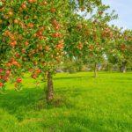 Manzano, árbol utilizado por su fruto y con larga historia