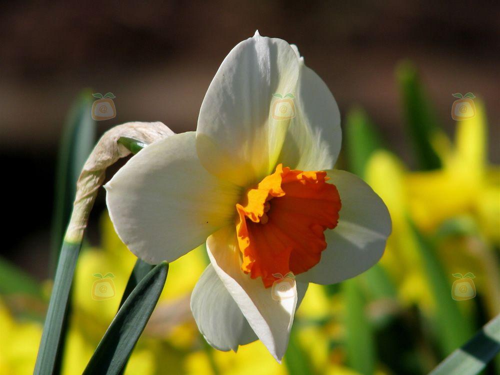 cultivo del narciso